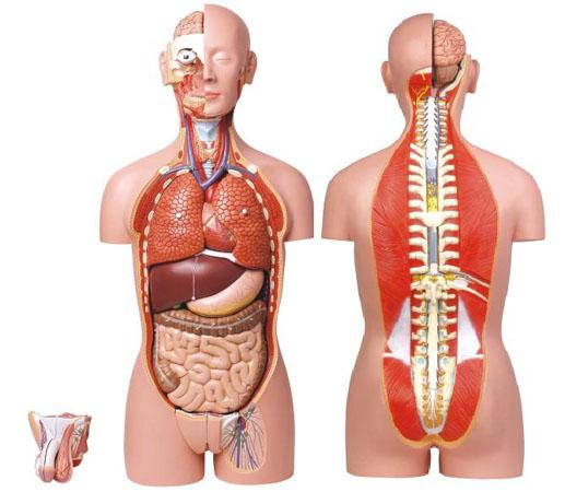 后背骨头结构图