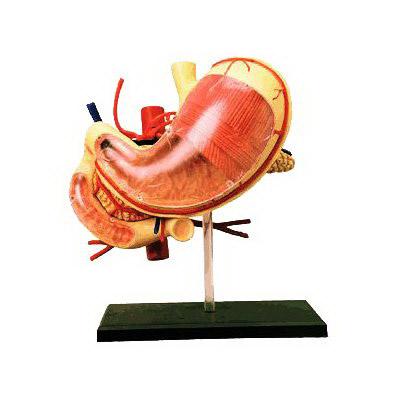 使学生了解胃的形态和解剖结构.